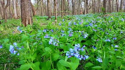 Virginia Bluebells Landscape Illinois