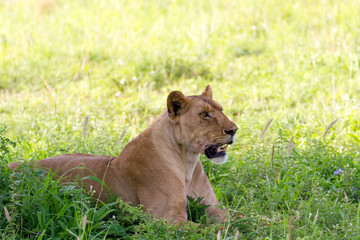 Lion en observation
