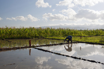 Reisanbau, Deschapelles, Haiti