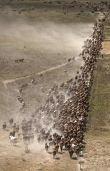 mustering braham cattle.