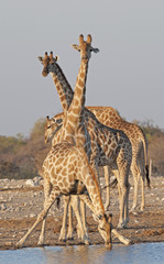 giraffe at  a waterhole in Etosha National Park.