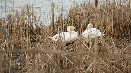 Swans Preening and Nest Building
