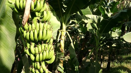 Banana tree plantation in egypt 4k