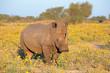 canvas print picture - White rhinoceros in natural habitat