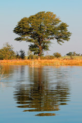 Tree and reflection, Kwando river
