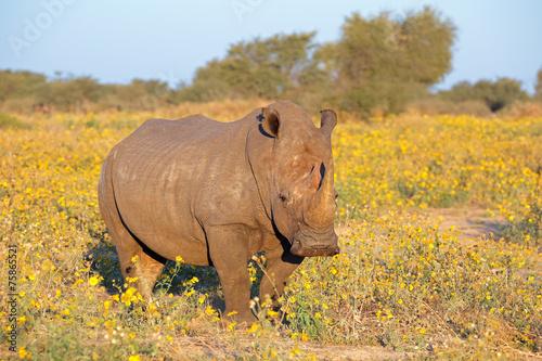 canvas print picture White rhinoceros in natural habitat
