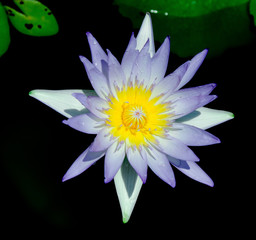 Natural Elegance Lotus Closeup