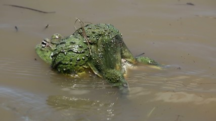 African giant bullfrogs mating and laying eggs