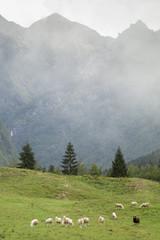 Owce na górskim pastwisu