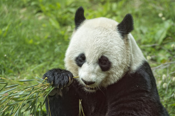 giant panda while eating bamboo portrait