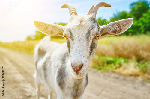 canvas print picture goat in summer outdoors in nature