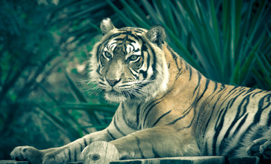 Amur tiger lying on a platform of planks