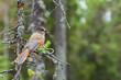 Siberian Jay sitting on a tree branch