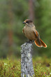 Siberian Jay sitting on a stump