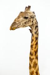 A tall Giraffe on white background