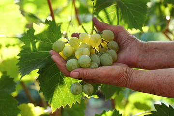 Grapes in hands of the elderly person