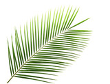 Green leaf of palm tree isolated on white - 75877590