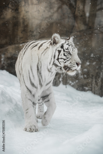 Juliste white Tiger