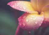 Fototapety drop of water on petal Plumeria flower in retro effect