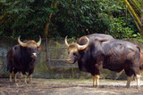 Indian gaur