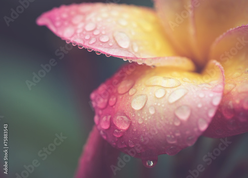 Poster Frangipani drop of water on petal Plumeria flower in retro effect