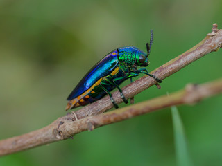 Metallic wood-boring beetle on tree in nature,Thailand