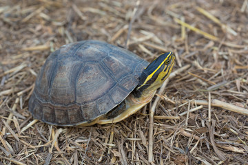 Asian Box Turtle (Cuora spp.) in Thailand