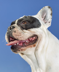 portrait of young bulldog