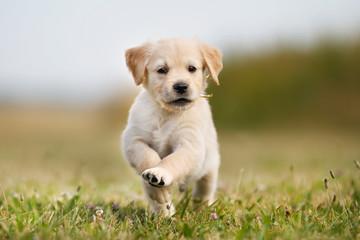 Jumping golden retriever puppy