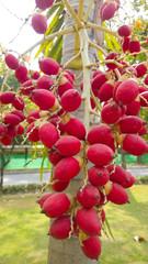 close up ripen fruit of lipstick palm or sealing-wax palm or raj