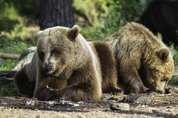 Brown bear (Ursus  arctos) resting in the sunshine