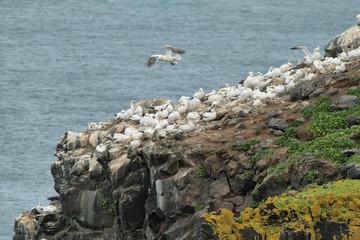 Gannet colony in Raudinupur cliffs