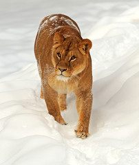 Lion in a natural habitat