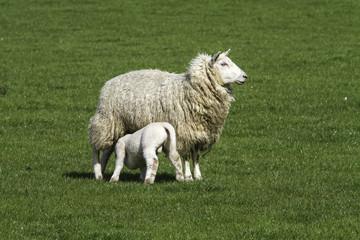Ewe suckling a single lamb
