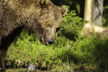 Portrait of a male Brown Bear (Ursus arctos)