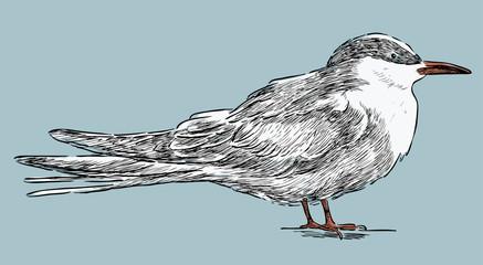 tern sketch