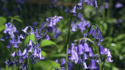 Focus pull between bluebells on a bright sunny day