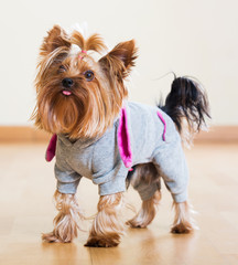 Yorkshire Terrier dog in overcoat