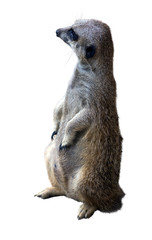 suricate. Isolated  over white background