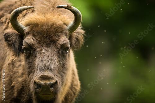 Keuken foto achterwand Bison European bison (Bison bonasus)