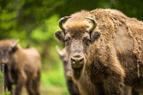 Fotobehang Bison European bison (Bison bonasus)