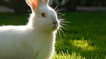white rabbit is jumping on the green grass