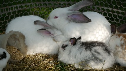 few white rabbits clean each other