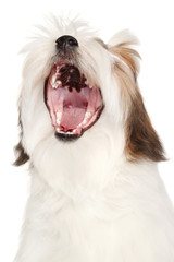 Lhasa Apso yawns on a white background