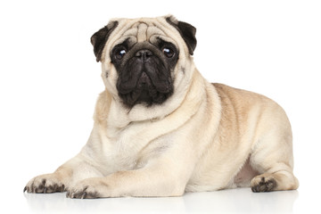 Pug lying on white background