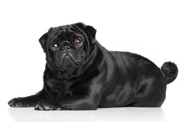 Black Pug lying