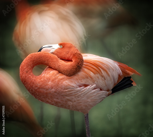 Flamingo © Michael Shake