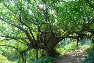 沖縄の風景・ガジュマルの木