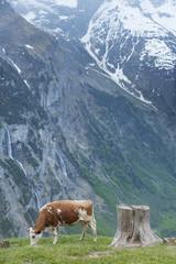 Cow in Lauterbrunnen valley, Switzerland