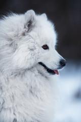 Close-up of a big fluffy dog